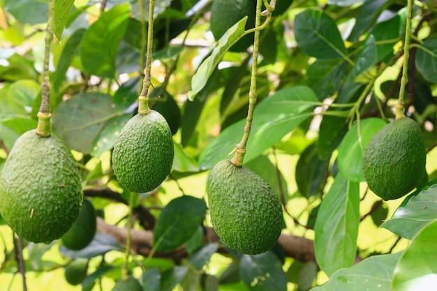 緑のオーガニックアボカドの季節の収穫、大きな木に熟す熱帯の緑のアボカドをクローズアップ Premium写真