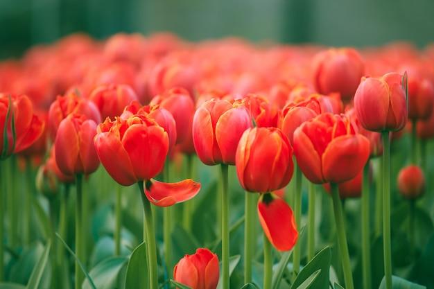 Выборочный фокус на красивых красных тюльпанах в саду кёкенхоф из нидерландов Premium Фотографии