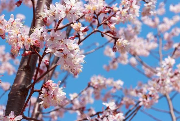 Цветущая ветка сакуры против голубого неба. Premium Фотографии