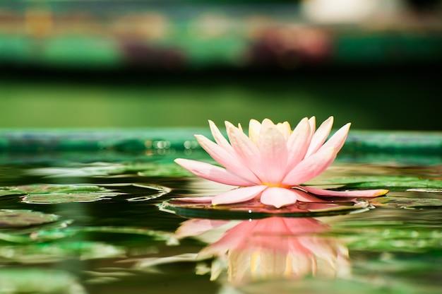 池の美しいピンクのスイレンや蓮の花 Premium写真