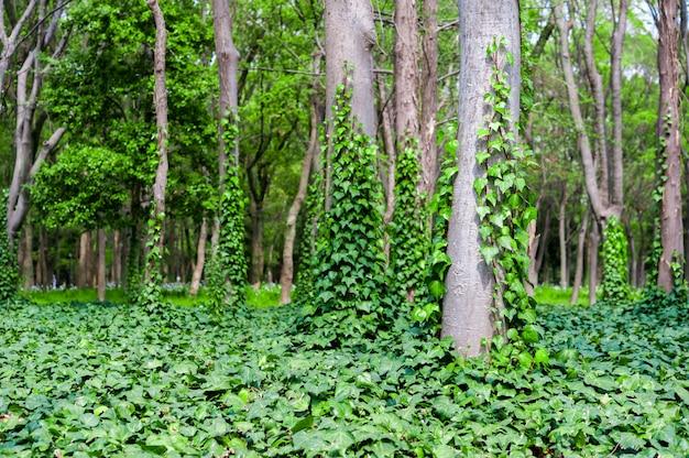 Сцена зеленого леса с деревьями и плющом Premium Фотографии
