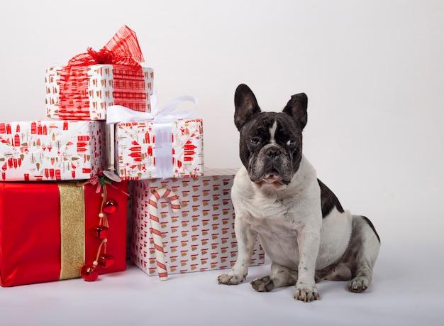 クリスマスギフトボックスに座っているフレンチブルドッグ Premium写真