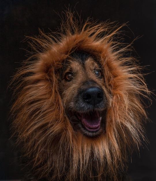 Конец-вверх смешной собаки скрещивания с париком льва на черной предпосылке. изолированное изображение Premium Фотографии