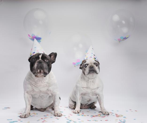 Два французских бульдога празднуют день рождения с воздушными шарами и конфетти Premium Фотографии
