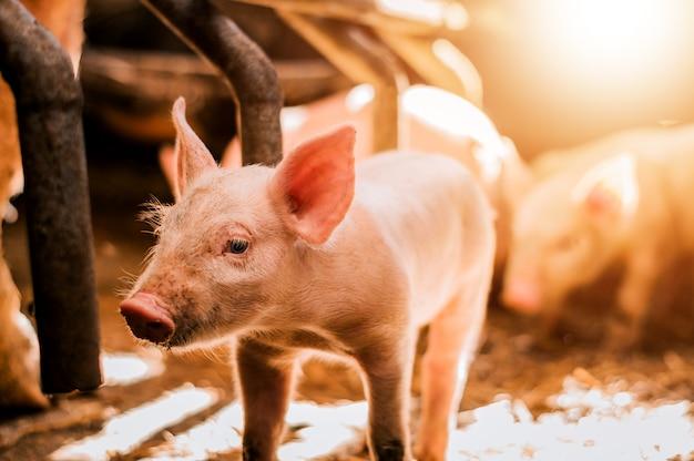 養豚場で干し草の若い子豚 Premium写真