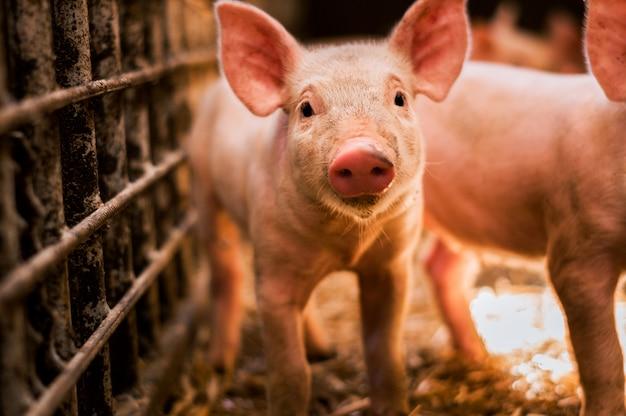 面白い探している子豚の肖像画 Premium写真