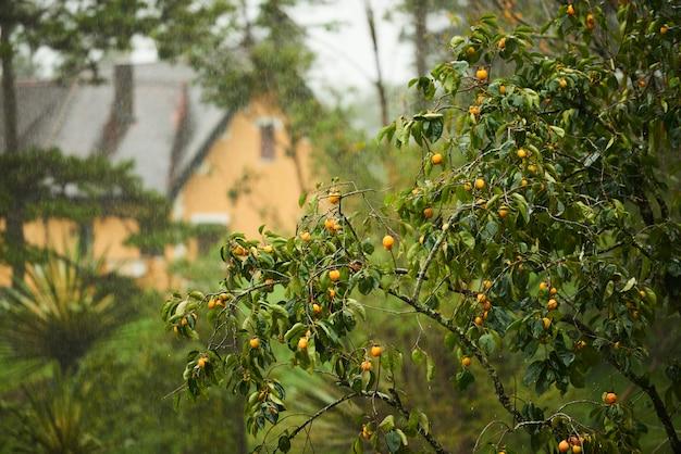バックグラウンドで家とオレンジの木 無料写真