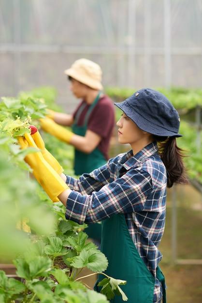 バックグラウンドで彼女の同僚と温室イチゴ作物を収集する女性の側面図 無料写真