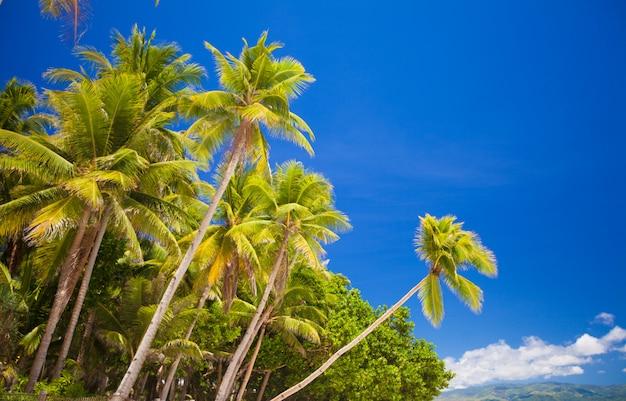 Кокосовая пальма на песчаном пляже в филиппинах Premium Фотографии