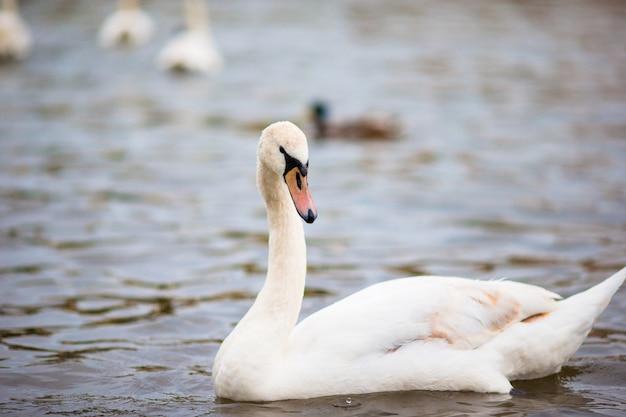 Красивый белый лебедь в праге влтава и карлов мост на заднем плане. карлов мост и белые лебеди Premium Фотографии