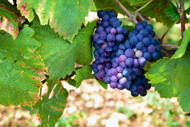 Красный виноград висит на лозе Бесплатные Фотографии
