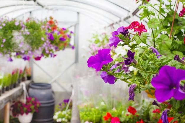 Продажа разноцветных петуний, выращиваемых в теплице. выборочный фокус. крупный план Premium Фотографии