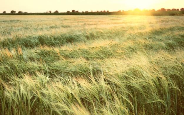 夕暮れ時の夏の美しい麦畑。自然 Premium写真