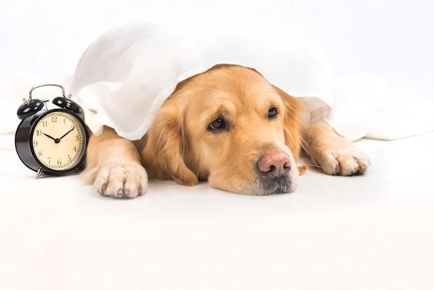 目覚まし時計の横にある白い布の下の退屈な若いゴールデンレトリバー。 Premium写真