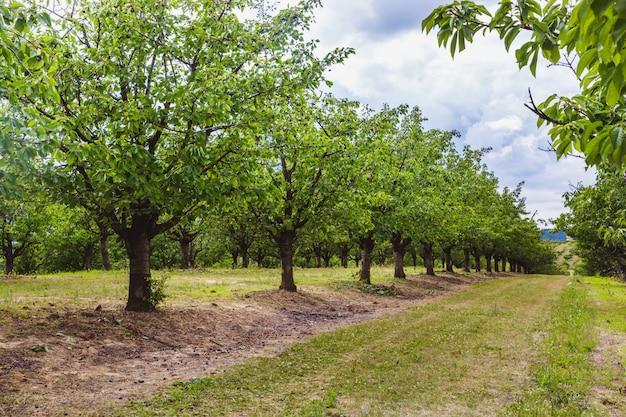 桜の木の有機赤と甘い熟成チェリー Premium写真
