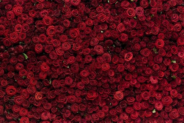 自然の赤いバラの背景、花の壁。背景画像としてバラ。 Premium写真