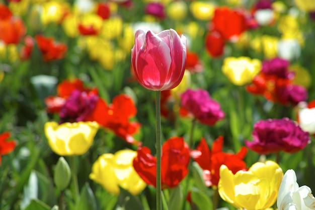 ぼかした花の背景を持つ美しいチューリップ 無料写真