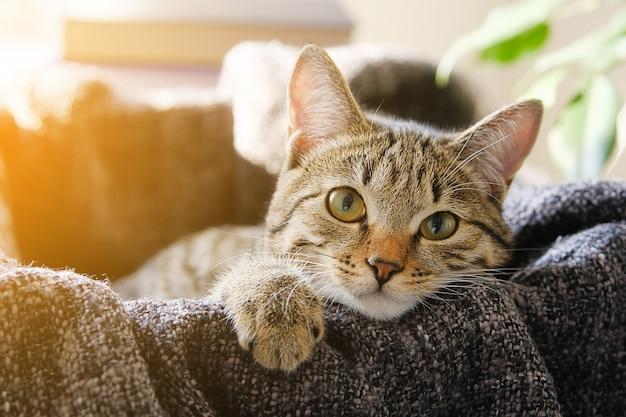 Домашняя кошка лежит в корзине с вязаным одеялом, смотрит в камеру. тонированное фото. Premium Фотографии