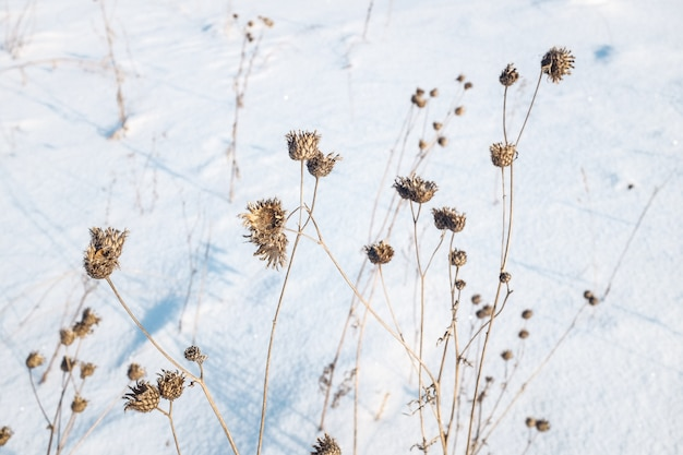 雪の中で乾いた植物、冬の牧草地。 Premium写真