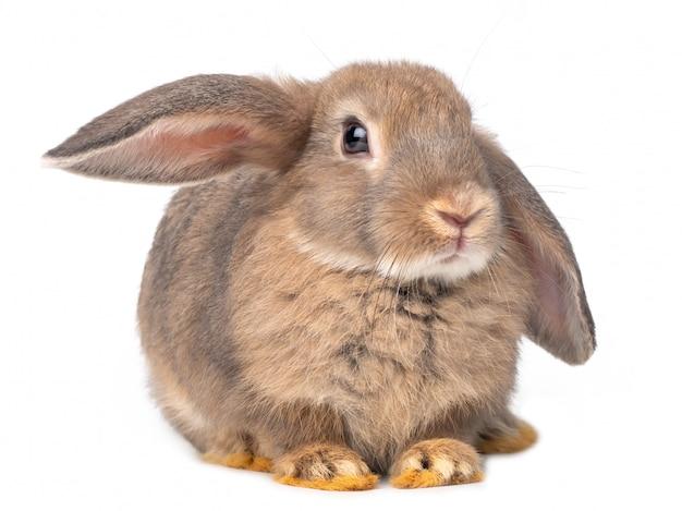 灰色のかわいい若いウサギ座っている白い背景に分離されました。 Premium写真