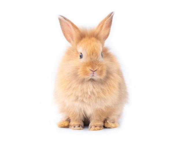 Краснокоричневый молодой кролик изолированный на белой предпосылке. Premium Фотографии