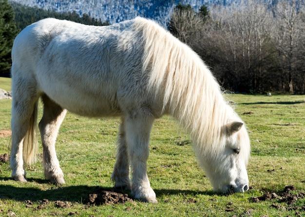 牧草地で白いポニー放牧草 Premium写真