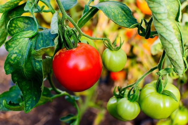 完熟トマト Premium写真