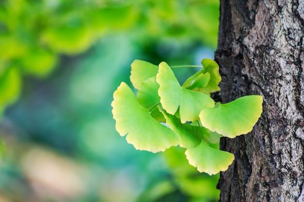 イチョウの葉 無料写真