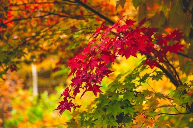 Красочные осенние листья меняют цвет на красный в японии. Premium Фотографии