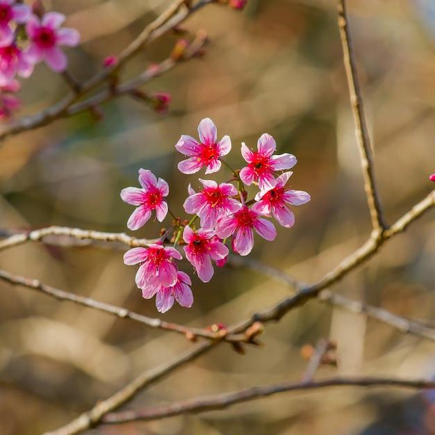 野生のヒマラヤ桜 Premium写真