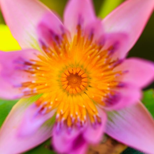 蓮のユリの花をクローズアップ Premium写真