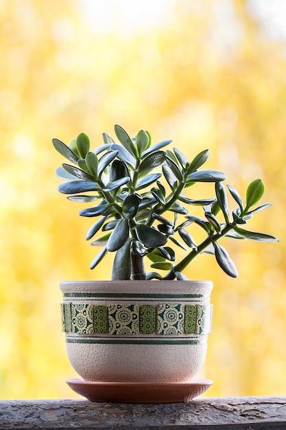 幸運な植物または黄色の背景に金のなる木 Premium写真