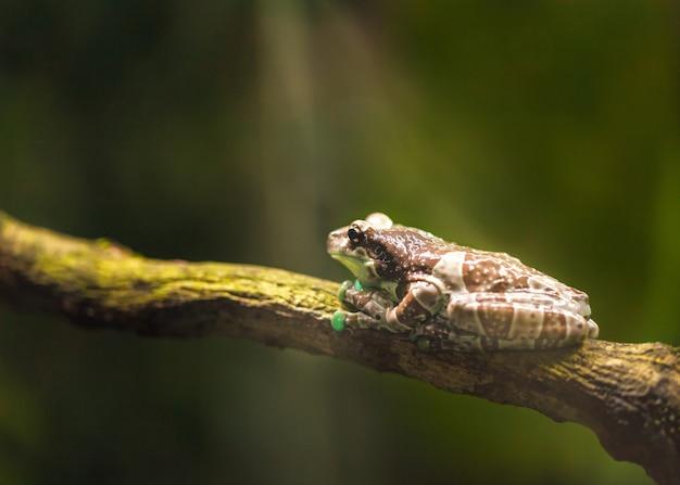 大きな茶色のカエルは枝に座り、日光を浴びます。 Premium写真