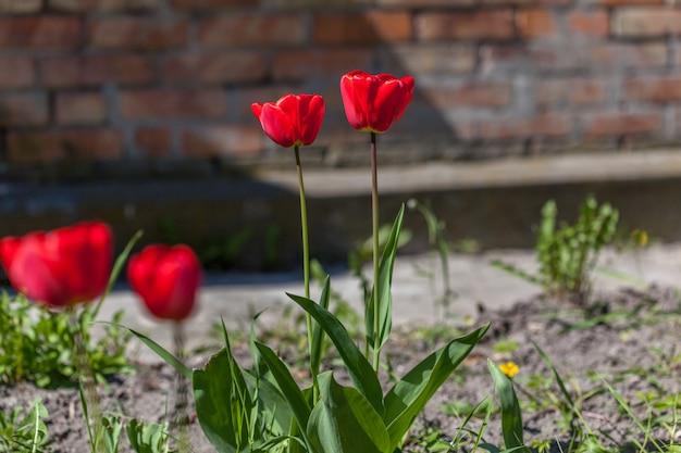 春の庭の美しい赤いチューリップ Premium写真