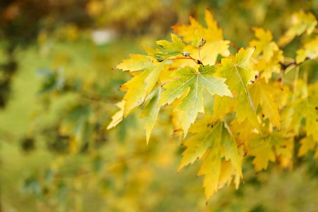 黄色のカエデの葉。閉じる Premium写真