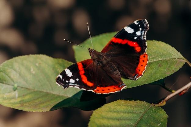 ヴァネッサ・アタランタまたは赤提督。黒い翼、オレンジ色の帯、白い斑点のある美しい蝶 Premium写真