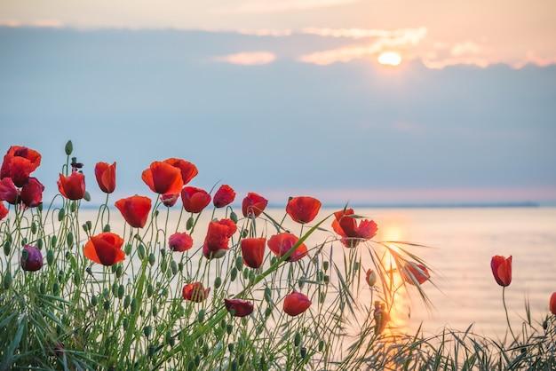 日の出の海岸のポピー Premium写真
