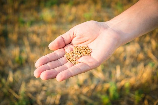 小麦の種を持っている手のクローズアップ。 Premium写真