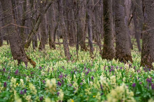 春咲く庭。黄色と紫が最初の花です。スノードロップ Premium写真