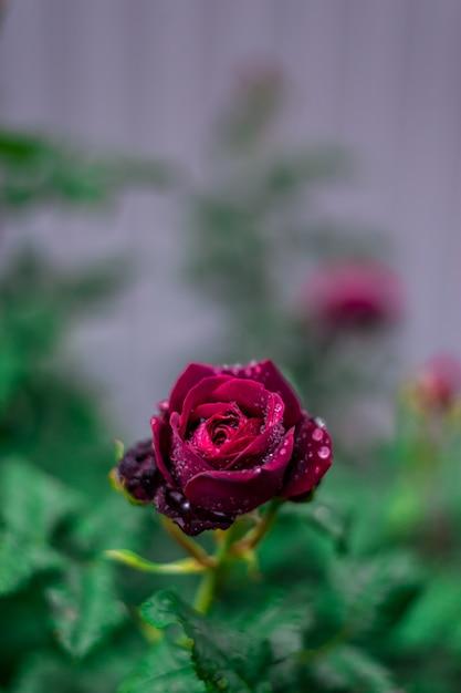 露のしずくと濃い赤いバラ Premium写真
