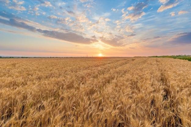 夏の夕暮れ時の麦畑 Premium写真