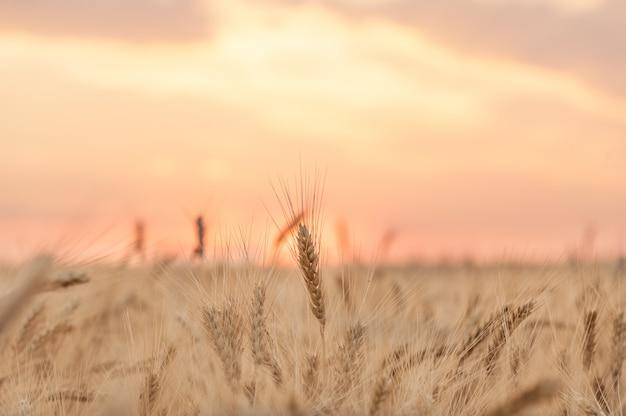 Колосья пшеницы на фоне розового закатного неба Premium Фотографии