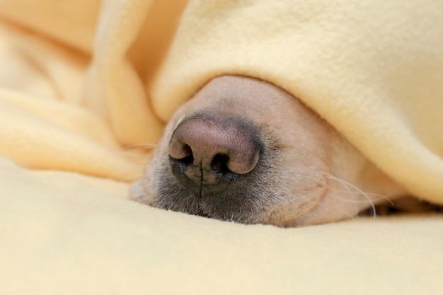 寒い冬の天候では、ペットは黄色い毛布の下で暖まります。犬の鼻を閉じます。 Premium写真