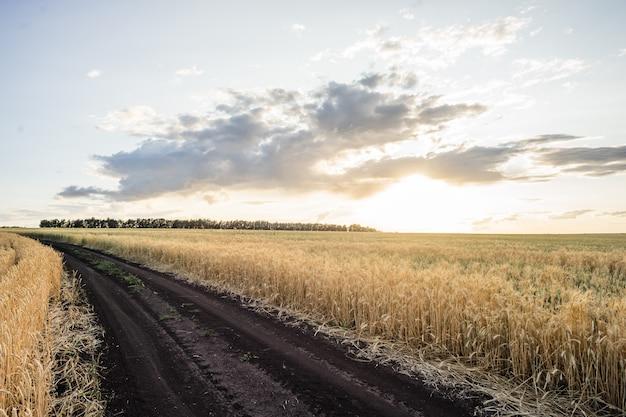 小麦畑の耳ゴールデン小麦。豊かな収穫のコンセプトです。 Premium写真