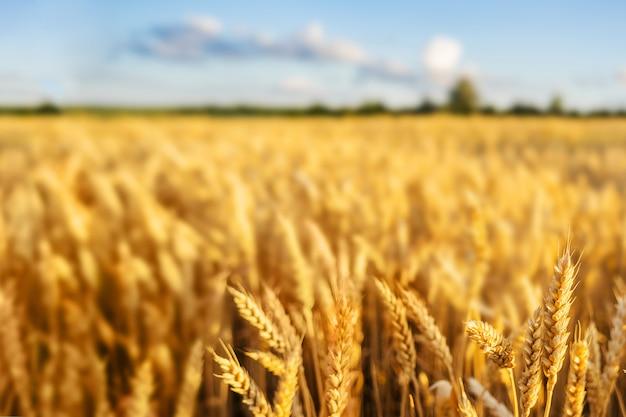Пшеничное поле колосья золотая пшеница. концепция богатого урожая. Premium Фотографии