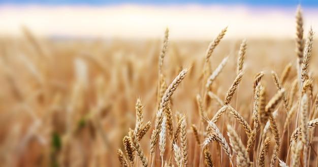 小麦畑の耳ゴールデン小麦を閉じます。壁紙。 Premium写真
