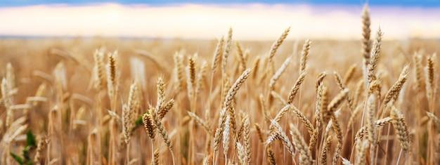 Пшеничное поле колосья золотая пшеница закрыть Premium Фотографии