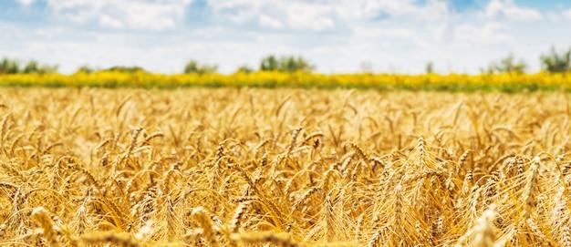 Пшеничное поле. уши золотой пшеницы крупным планом. красивая природа закат пейзаж. Premium Фотографии