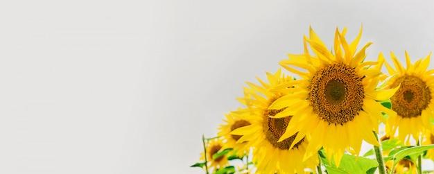空と雲と美しいひまわり。テキスト用のスペースと青色の背景に黄色の花。 Premium写真