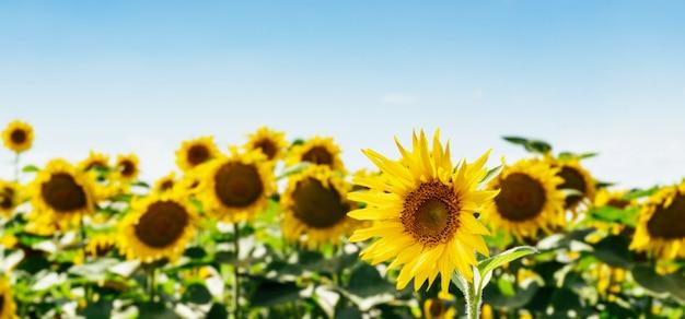 空と雲とひまわりの美しいフィールド。テキスト用のスペースと青色の背景に多くの黄色い花。 Premium写真